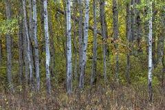 白色咆哮的树 库存图片