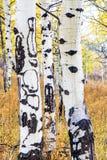 白色咆哮的白杨木在秋天森林里 库存图片