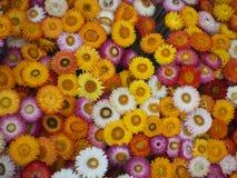 白色和五颜六色花在花园里开花在冬天 库存照片
