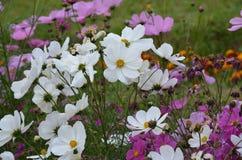白色和五颜六色花在花园里开花在冬天 图库摄影