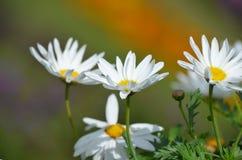 白色和五颜六色花在花园里开花在冬天 免版税图库摄影