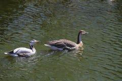 白色和布朗中国鹅(分析服务公司cygnoides) 库存图片