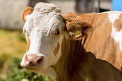 白色和布朗母牛的画象 免版税库存图片