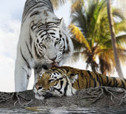 白色和布朗老虎 免版税库存图片