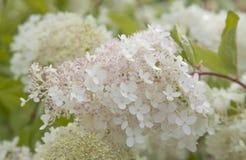 白色和桃红色八仙花属paniculata 图库摄影
