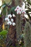 白色和桃红色兰花植物兰花 免版税库存图片