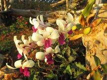 白色和桃红色兰花花 免版税库存照片