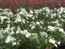 白色和桃红色喇叭花花,立陶宛 库存照片