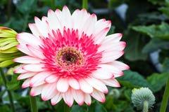 白色和桃红色大丁草 免版税图库摄影