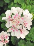 白色和桃红色天竺葵Gernium花 免版税库存图片