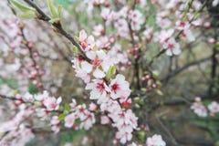 白色和桃红色樱花在韩国 库存图片