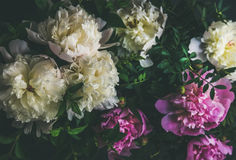 白色和桃红色牡丹开花在黑暗的背景,顶视图 免版税库存照片