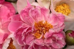 白色和桃红色牡丹花芍药属花束 免版税库存图片
