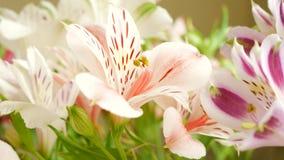 白色和桃红色美丽的百合花