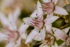 白色和桃红色花关闭照片宏指令 免版税库存图片