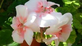 活白色和桃红色花的桶 免版税库存照片