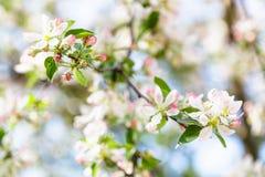 白色和桃红色苹果树开花关闭 免版税库存照片