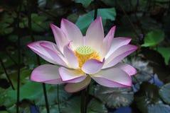 白色和桃红色莲花 库存图片