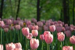 白色和桃红色郁金香在树背景的一张花床上  免版税库存图片