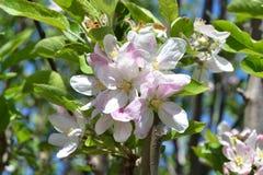 白色和桃红色镇静苹果花 免版税图库摄影
