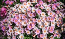 白色和桃红色雏菊背景 延命菊 Argyrantheum flutescens 礼物为华伦泰或母亲节 免版税图库摄影