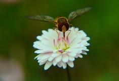 白色和桃红色雏菊 库存照片