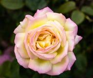 白色和桃红色颜色的罗斯 免版税图库摄影