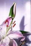 白色和桃红色Lilly花 库存图片