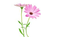白色和桃红色Osteospermum雏菊或海角雏菊花花 库存照片