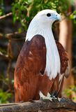 白色和棕色亚洲老鹰 免版税库存照片