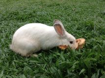 白色和棕色兔子 免版税库存图片