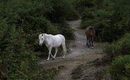 白色和棕色新森林小马走 免版税库存图片