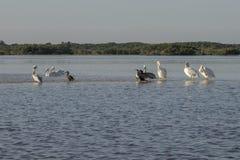 白色和棕色晒日光浴在河的鹈鹕和cormoran 库存照片