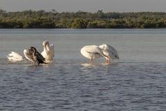 白色和棕色晒日光浴在河的鹈鹕和cormoran 免版税库存照片