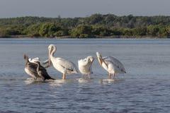 白色和棕色晒日光浴在河的鹈鹕和cormoran 图库摄影