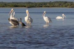 白色和棕色晒日光浴在河的鹈鹕和cormoran 免版税图库摄影