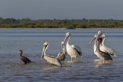白色和棕色晒日光浴在河的鹈鹕和cormoran 库存图片