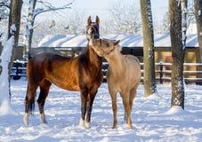 白色和棕色马使用 免版税库存图片