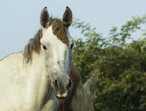 白色和棕色马在一个绿色领域 库存照片