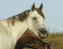 白色和棕色马在一个绿色领域 免版税库存照片