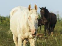 白色和棕色马在一个绿色领域 免版税图库摄影