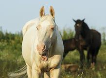 白色和棕色马在一个绿色领域 免版税库存图片