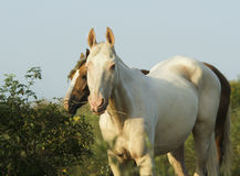 白色和棕色马在一个绿色领域 库存图片