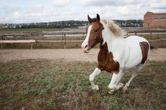 白色和棕色马奔跑在小牧场关闭  美国西部 免版税库存图片