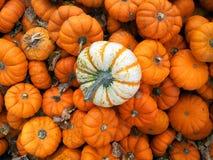白色和橙色微型pumkins 库存图片