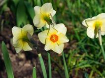 白色和橙色黄水仙或水仙在花圃,选择聚焦,浅DOF开花特写镜头 库存照片