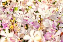 白色和淡紫色兰花领域特写镜头 花背景宏指令 库存照片