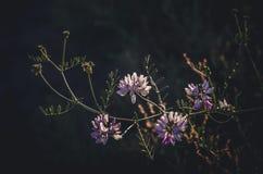 白色和淡紫色野花分支在太阳的光芒的在黑暗的背景的 免版税库存照片