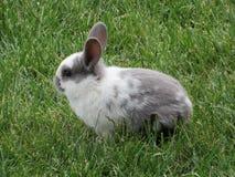 白色和灰色兔宝宝 库存图片