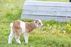 白色和焦糖新出生的婴孩哄骗站立在gr的微型山羊 免版税图库摄影